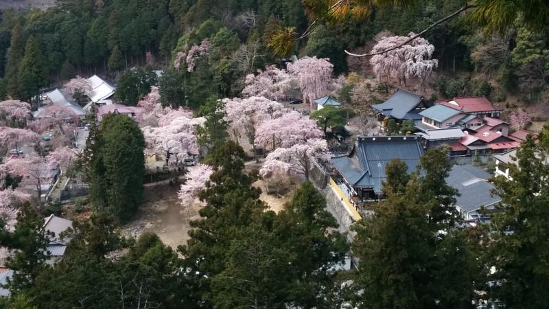 西谷のしだれ桜